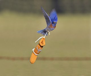 Blue_bird__centered_432_small2