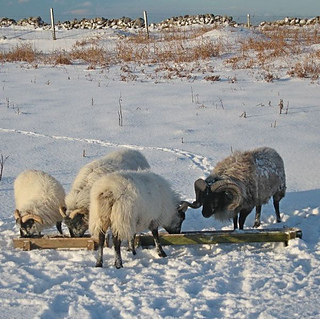 Bob_s_sheep_in_snow_cropped_small2