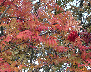 Rowan_tree_2_small2
