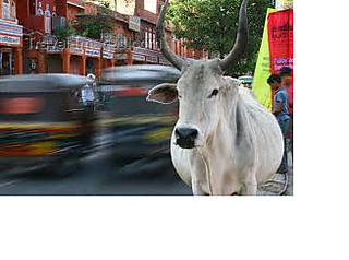 Cow_small2