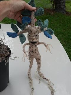 Mandrake_small2