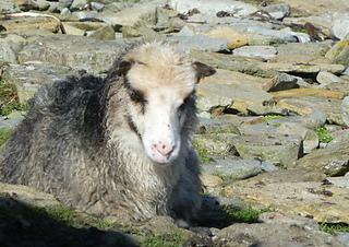 Panda-eyed_north_ronaldsay_sheep_s2_small2