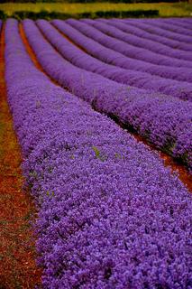 Lavenderfieldpettit_small2