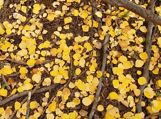 Golden-aspen-leaves-on-the-ground_detail_small2