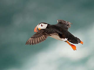 Puffin-in-flight_small2